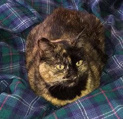 Tortoiseshell Cat Named Maya